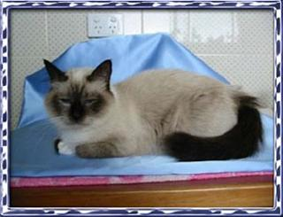 Birman Breed Information