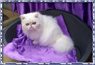 Persian Breed Information