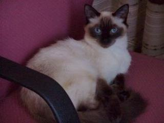 RagDolls Oz Ragdolls - registered breeder with FCCV