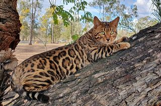 Migaloo Bengals - Feline Control Council of Queensland (FCCQ) and The International Cat Association (TICA) registered.