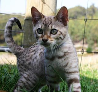 Cat Breeders Birman, Ragdoll, British Shorthair, Siamese and Orientals