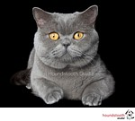 British Shorthair Cats in Australia