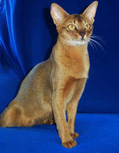 Abyssinian Breed Information