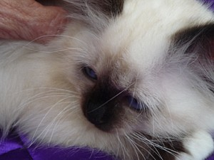 DAMUKYAN  BIRMANS - Sydney Australia - Contact Brenda on 02 9489 3872