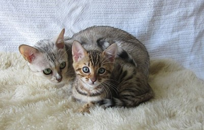 how to become a registered cat breeder qld