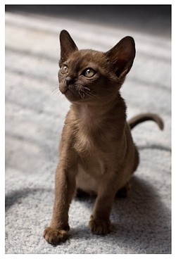 Small breeder of burmese